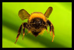 Title: Buff-tailed Bumble Bee