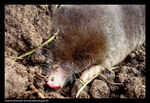 Title: Mole out off his hole