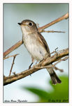Title: Asian Brown Flycatcher