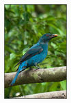 Title: Asian Fairy Bluebird (Female)