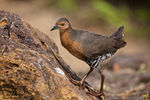 Title: Band-Bellied Crake