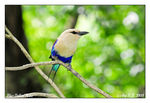 Title: Blue-Bellied Roller