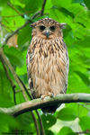 Title: Buffy Fish-Owl