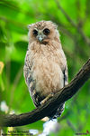 Title: Buffy Fish-Owl (Juvenile)