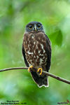 Title: Brown Hawk-Owl