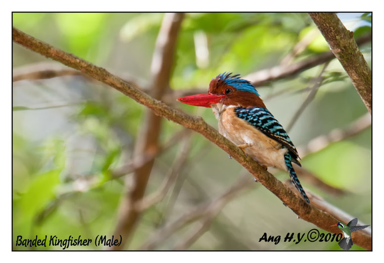 Banded Kingfisher (Male)