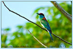 Title: Blue-Throated Bee-Eater