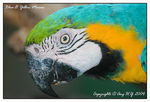 Title: Blue & Yellow Macaw