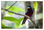 Title: Black & Red Broadbill
