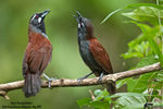 Title: Black-Throated Babbler