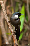 Title: Black-Throated Laughingthrush