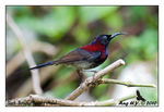 Title: Black-Throated Sunbird