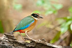 Title: Blue-Winged Pitta