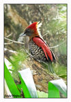 Title: Banded Woodpecker