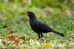 Title: Blue Whistling-Thrush