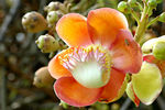 Title: Cannonball Tree Flower