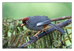 Title: Chestnut-Capped Laughingthrush