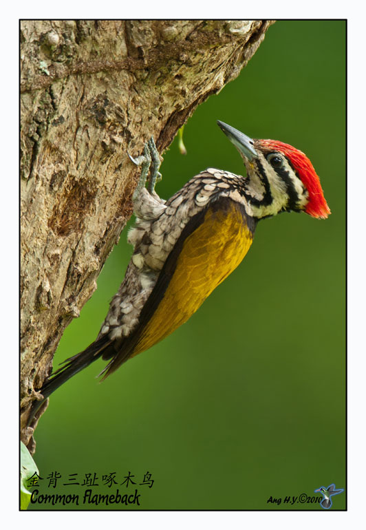Common Flameback (male)