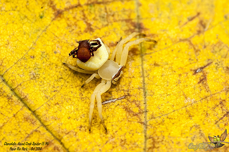 Chocolate-Faced Crab Spider