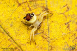 Title: Chocolate-Faced Crab Spider