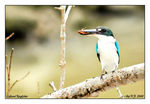 Title: Collared Kingfisher and it's prey
