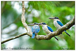 Title: Collared Kingfisher