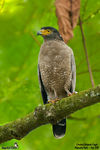Title: Crested Serpent-Eagle