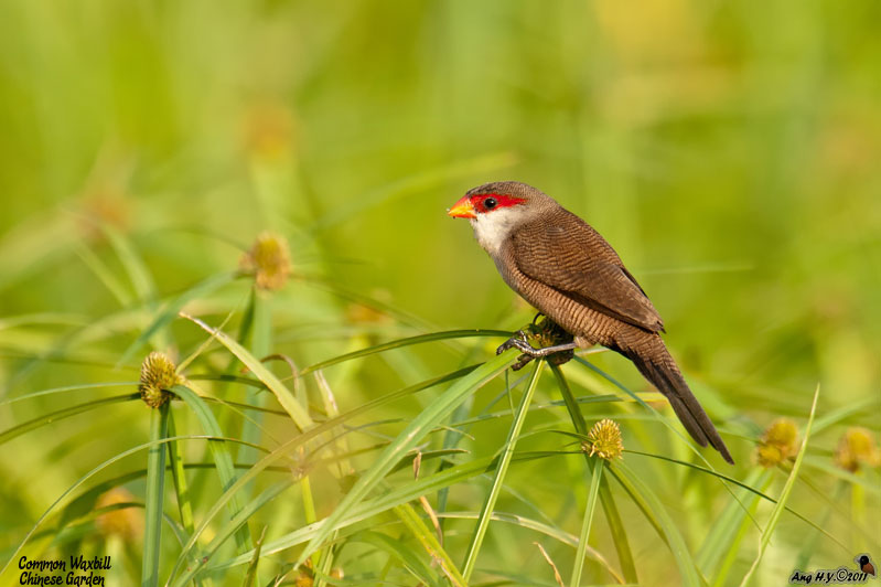 Another Escapee - Common Waxbill