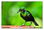 Title: Emerald Starling