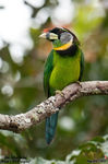 Title: Fire-Tufted Barbet