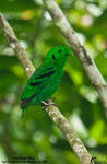 Title: Green Broadbill (M)