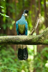 Title: Great Blue Turaco
