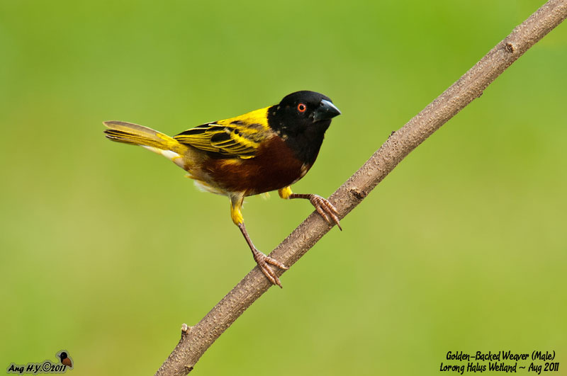 Golden-Backed Weaver (Male)