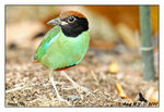 Title: Hooded Pitta