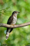 Title: Indian Cuckoo