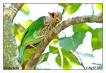 Title: Lineated Barbet