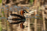 Title: Little Grebe