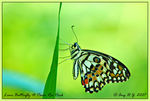 Title: Lime Butterfly