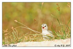 Title: Little Tern Chick