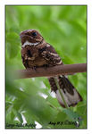 Title: Large-Tailed Nightjar