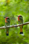 Title: Red-Bearded Bee-Eater