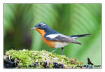 Title: Mugimaki Flycatcher (Male)