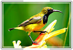 Title: Olive-backed Sunbird5