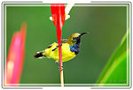Title: Olive-backed Sunbird6