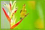 Title: Olive-Backed Sunbird(female)