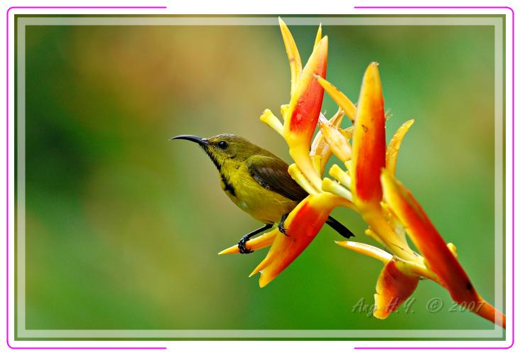 Juvenile Olive-Backed Sunbird