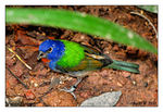 Title: Painted Bunting