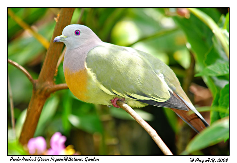 Pink-Necked Green Pigeon (Male)
