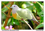 Title: Pink-Necked Green Pigeon (Male)