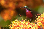 Title: Purple-Throated Sunbird